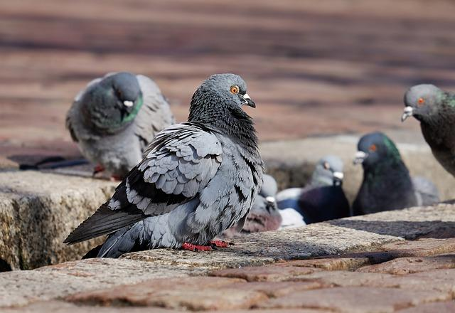 pigeons-3268990_640.jpg