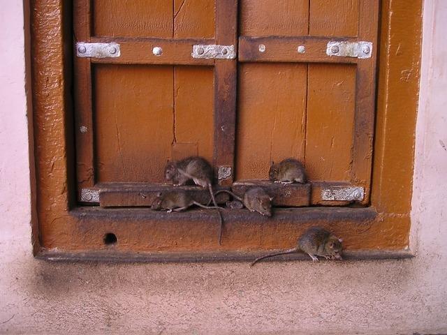 rat-357_640.jpg