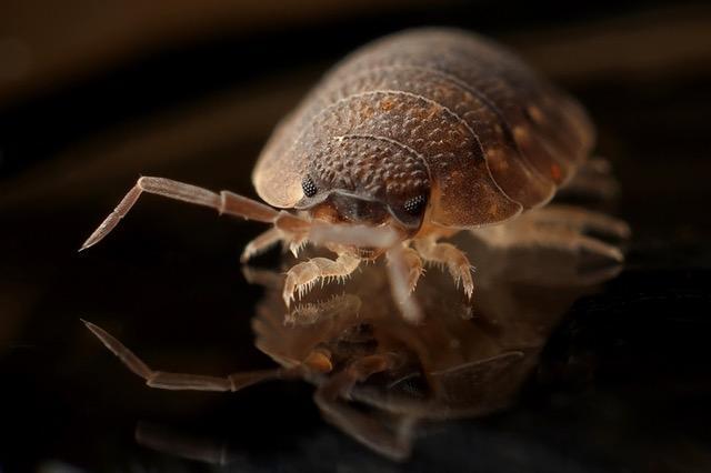 armadillo-worm-bug-insect.jpg