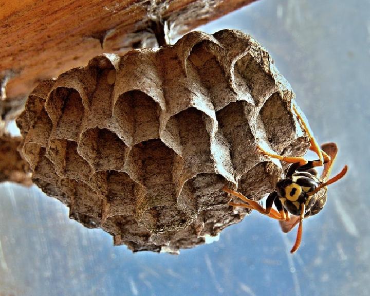 Dificultades-para-erradicar-la-presencia-de-la-vespa-velutina.png